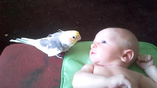 Kakaduan sjunger en godnattsång för bebisen - det här är hjärtsmältande