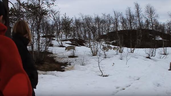 En flock vargar kommer springande rakt mot dem - det som händer sen hade ingen kunnat ana