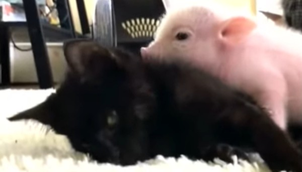 Den lilla kattungen är sjuk - se bara vad griskultingen gör då