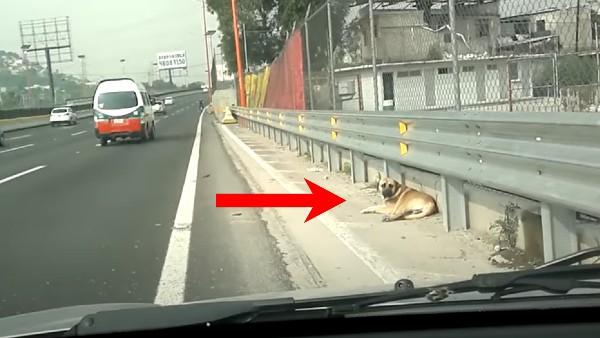 En livrädd hund ligger på motorvägen - kvinnan går då fram till hunden och gör något helt fantastiskt